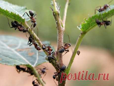 Удар по муравьям: проверенный метод избавления | Сад и Огород | Яндекс Дзен