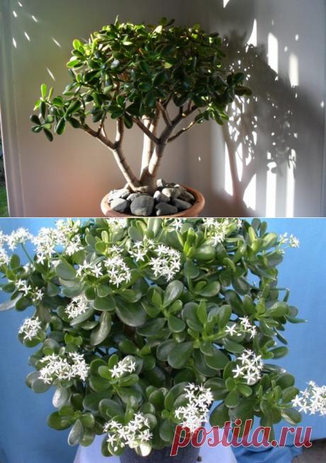 As it is correct to form a monetary tree. Crassula. Krasulla. The photo is Ботаничка.ru