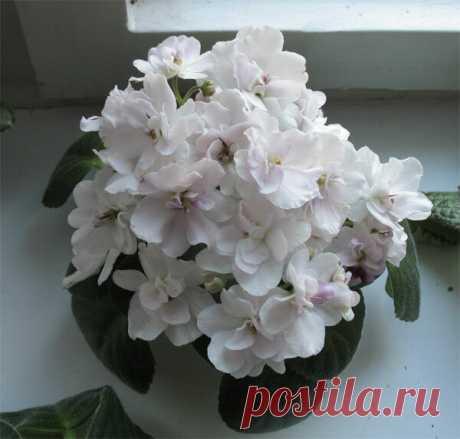 Как опытные цветоводы добиваются цветения фиалок пышной шапкой   О Фазенде. Загородная жизнь   Яндекс Дзен