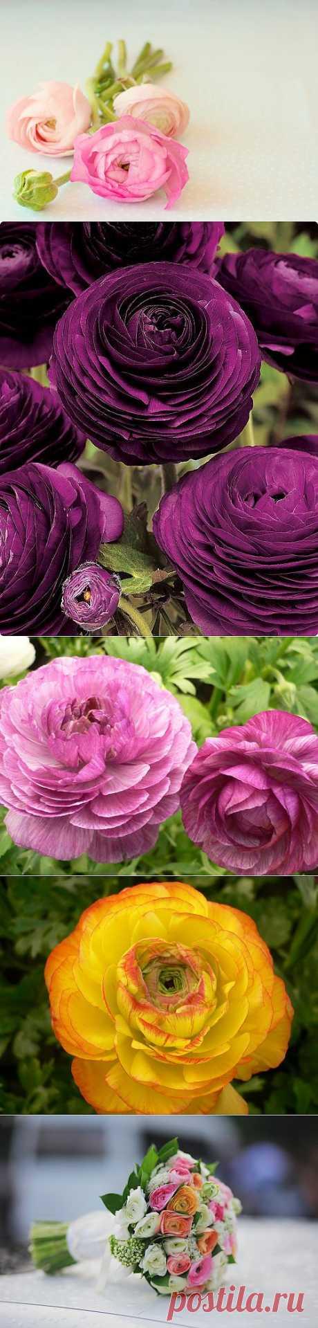 Ранункулюс – цветы невест.Посадка, уход, размножение и сорта. При взгляде на эти цветы невольно ощущаешь нежность и вдохновение.  Корневища ранункулюса — небольшие клубни, напоминающие по форме гусиные лапки. Приобретать клубни лучше осенью, так как есть вероятность, что они выкопаны не прошлой осенью или весной, а в этом сезоне, и могут пролежать до весны.