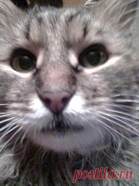 Сибирский кот Барсик.17 лет.