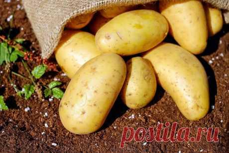 Какую культуру стоит посадить рядом с картофелем | ковалева ирина | Яндекс Дзен