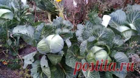 Не выбрасывайте зелёные капустные листья. Рассказываю, почему. | Посад | Яндекс Дзен
