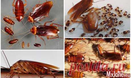 Лучшие народные средства для избавления от тараканов - тараканы, как избавиться от тараканов, народные средства для избавления от тараканов