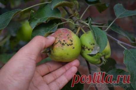 Яблок много, но мелкие и больные: как исправить ситуацию Почему яблоки на деревьях мелкие и выглядят больными?