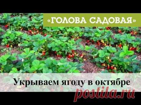 Голова садовая -Укрываем ягоду в октябре