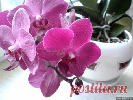 В горшок с орхидеей кубики льда. Через неделю произошло чудо!