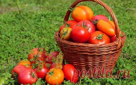 Удвоим урожай томатов. 5 актуальных способов  Садоводы сгорают от нетерпения: как покажут себя помидоры в этом году? Что ещё сделать сейчас, чтобы подстегнуть плодоношение?  Подвяжем Все помидорные растения гораздо лучше себя чувствуют, если они…