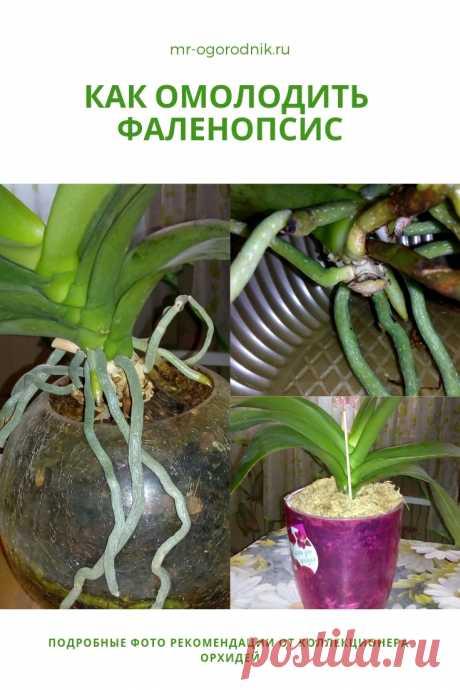 Как омолодить фаленопсис: фото мастер-класс по обрезке орхидеи