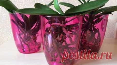 Орхидеи в воде без просушки. Успешные результаты и ошибки, допущенные при выращивании в воде.