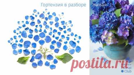 Любимая всеми гортензия, да ещё и королевского синего цвета в подробностях. Знакомьтесь со строением цветов, сохраняйте себе полезную информацию и делитесь ею со своими творческими друзьями!  #муза@florist.club, #время_весны@florist.club, #анатомия_цветов@florist.club, #гортензии@florist.club