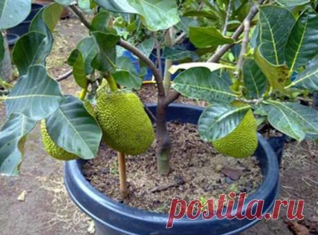Райский фрукт, который выращиваю дома на подоконнике (он еще и очень полезный)