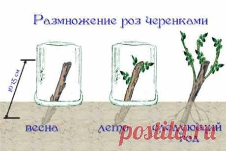 Черенкование роз: способы и особенности технологии - Почта Mail.Ru