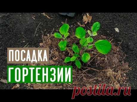 Проверенный способ посадки гортензии / Садовый гид