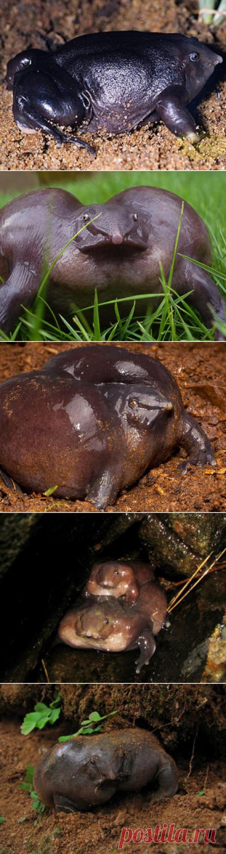 Смотреть изображения пурпурных лягушек | Зооляндия