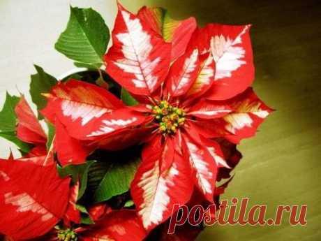 Пуансетия: уход в домашних условиях как обрезать Пуансеттия, еще этот цветок называют Рождественская звезда — очень популярное домашнее растение, которое цветет в зимние праздники. Т
