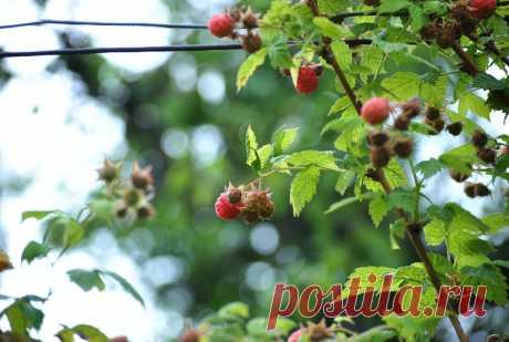 Посадите малину осенью и наслаждайтесь ягодами уже на следующий сезон. Малина – лучшее растение для начинающего садовода | Клуб Садоводов-Профессионалов | Яндекс Дзен