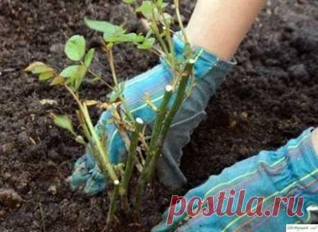 Как лучше обрезать розы — Садоводка