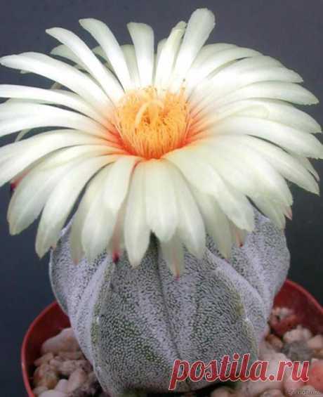 Цветущие кактусы: редкая красота