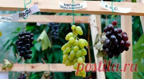 На каком расстоянии сажать виноград друг от друга