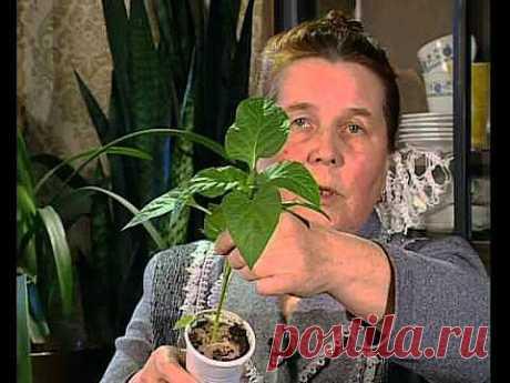 Климцева ЛН о рассаде и ошибках в ее выращивании - YouTube