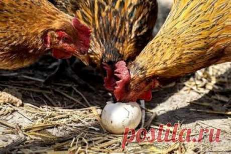 Чтобы куры не клевали яйца Расклев, а затем и поедание яиц — одно из самых распространенных отклонений в поведении несушек. Наиболее часто оно проявляется из-за нарушения питания. Причинами также могут быть маленькая площадь содержания и выгула; недостаток питательных и минеральных веществ в еде, особенно кальция; наличие скорлупы и частиц яиц в чистом виде в кормах; длительный световой режим зимой; нехватка витамина Д в зимний период или просто неуклюжая курица, нечаянно ...