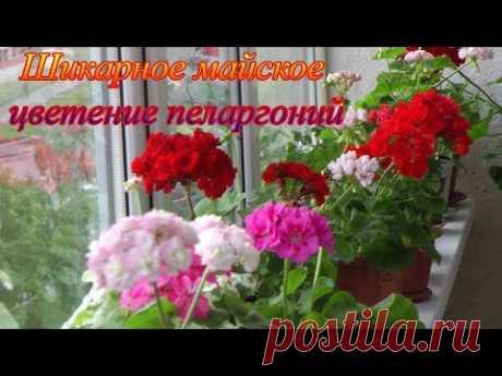 Цветут пеларгонии на балконе в конце мая - я в гостях у Ольги Яценко