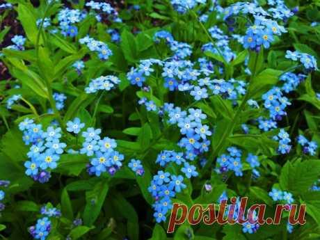 Букет роз прекрасен, но веточка и две незабудки прекраснее, если там есть душа...( Японская пословица)  ...Есть поверье, что ангелы, пролетая над землёй, роняют на нее голубые цветы, чтобы люди не забывали о Небе... Оттого эти цветы называют незабудками...