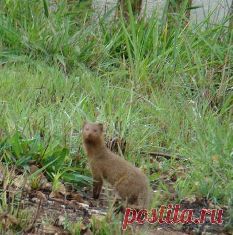ЮАР. Зверек семейства куньих...я думаю.Снято мною во дворе моего дома в госпитале Letaba, Limpopo.