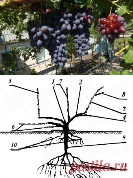 Советы по обрезке виноградных кустов для новичков