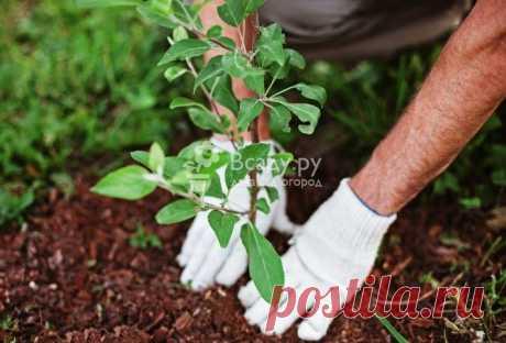 Универсальные правила посадки плодовых деревьев Как посадить плодовые деревья - 12 правил, который нужно соблюдать при высаживании. Как правильно расположить корни, на какую глубину сажать дерево