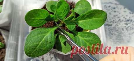 Зачем я обрезаю листья малышкам петуниям? И другие хитрости выращивания рассады. | ЗАГОРОДНАЯ ЖИЗНЬ | Яндекс Дзен