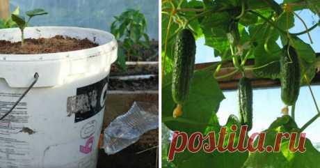 Как вырастить огурцы на воде: новый эффективный метод – урожай круглый год!