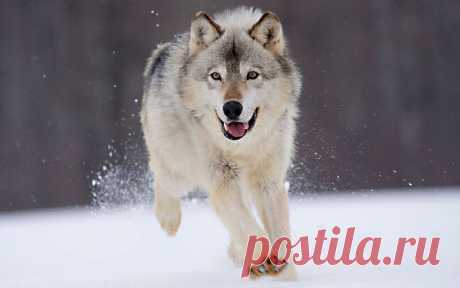 Бегущий волк. ----------- Viewing Mia Moya Samoyed's profile | Profiles v2 | Gaia Online