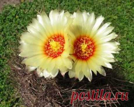 Секреты цветения кактусов ~ Planetalsad