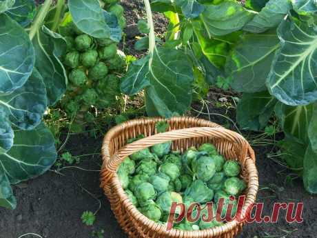 Брюссельская капуста — посадка, уход, сбор урожая. Фото — Ботаничка.ru