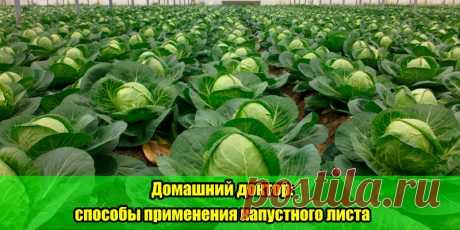 Домашний доктор: способы применения капустного листа   Полезные советы