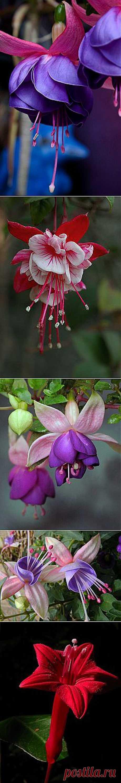 Fuschia | Flowers