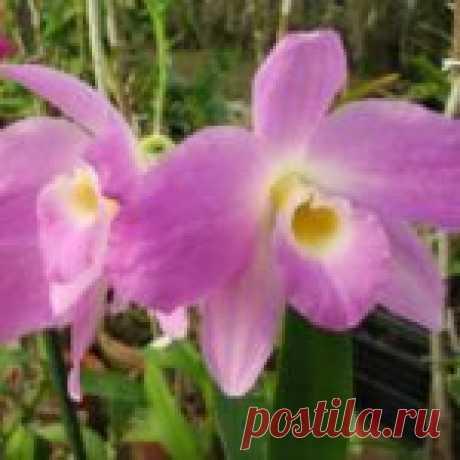 Орхидея Дендробиум Нобиле - уход и размножение в домашних условиях с фото