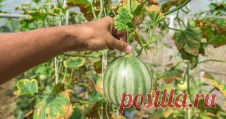 Как вырастить арбузы и дыни в теплице – все работы от посева до сбора урожая Вырастить арбуз или дыню, имея хотя бы пленочную теплицу, вполне реально даже в суровом российском климате. Достаточно лишь выбрать правильные сорта, своевременно вырастить рассаду и ответственно подойти к агротехнике.