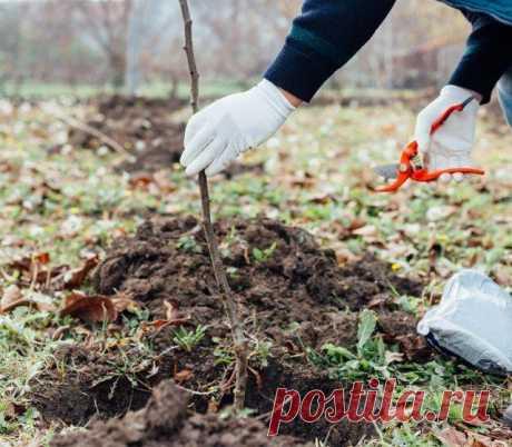 """7 распространенных ошибок при осенней высадке саженцев Если погибает молодое дерево или куст, мы обычно виним в этом недобросовестных продавцов, """"капризы"""" климата и """"плохой"""" участок. Но часто потери посадочного материала напрямую связаны с ошибками, котор..."""