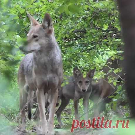 Another chance to submit comments re federal proposal to allow landowners to kill endangered wolves. New deadline to take action is Aug 28 -