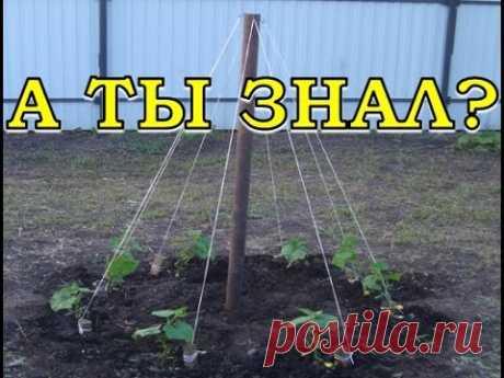 Выращивание огурцов ёлочкой  (сколько людей столько и способов выращивания огурцов) народная мудрость неисчерпаема пользуйтесь