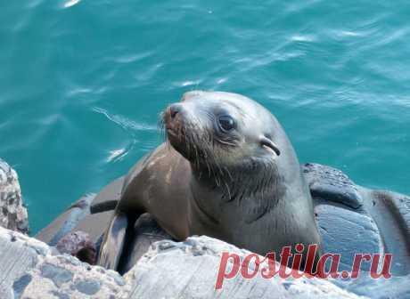Спасаясь от косатки, юный тюлень запрыгнул в лодку к проплывающим мимо туристам. Потом передумал и вылез, но тут же передумал обратно.