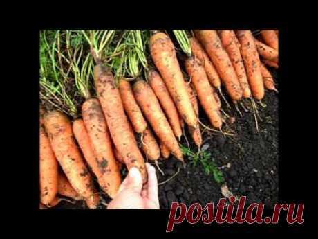 Вкусный Огород: Когда копать морковку