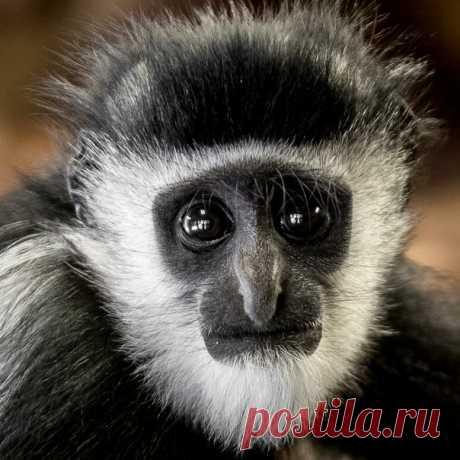 Портрет детёныша мартышки колобуса. Автор фото – Максим Логунов: nat-geo.ru/photo/user/340999/