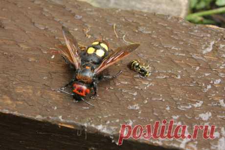 Гигантская оса сколия. Почему о ней не упоминают, перечисляя опасных насекомых РФ | Заметки зооработника | Яндекс Дзен