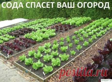 Содa спасёт ваш огород!