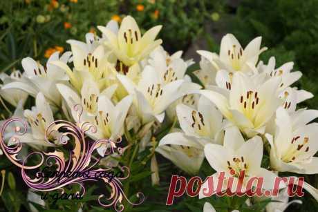 """Что надо сделать с лилиями сейчас (после цветения). Выполняю и любуюсь """"сказочным"""" цветением каждый год   Секреты сада и дачи   Яндекс Дзен"""