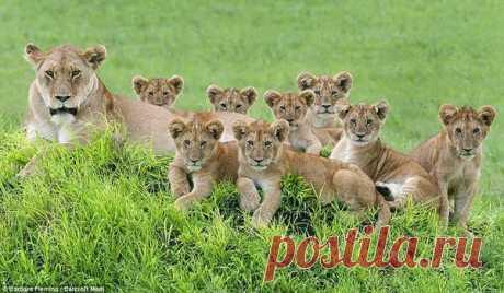 В заповеднике ЮАР сфотографировали львицу с 8 львятами. Милота же!